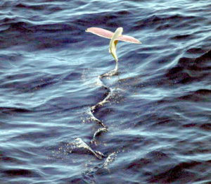 Pink-wing_flying_fish